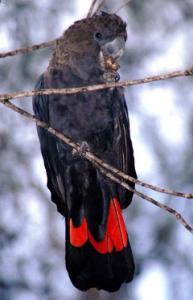 The Glossy Black Cockatoo