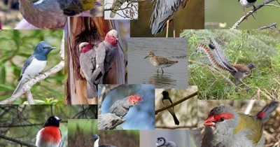 Birds of Canberra — Take the 3 Minute Quiz!